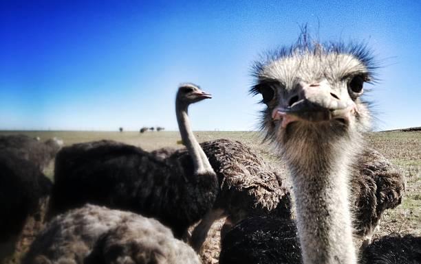 Curious Ostrich stare