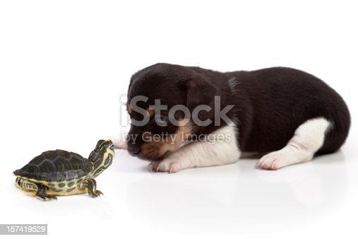 Jack Russell puppy (4 weeks old) and a baby turtle