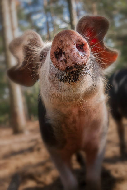 Curious pig Close up of curious pig with focus on the nose snout stock pictures, royalty-free photos & images
