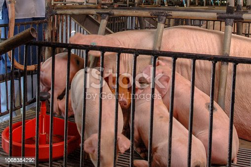 istock Curious pigs in Pig Breeding farm in swine business in tidy and clean indoor housing farm with pig mother feeding piglet 1068384292