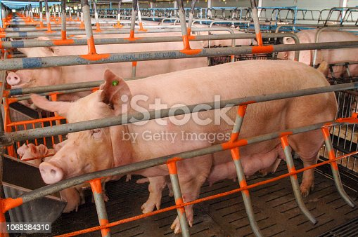istock Curious pigs in Pig Breeding farm in swine business in tidy and clean indoor housing farm with pig mother feeding piglet 1068384310