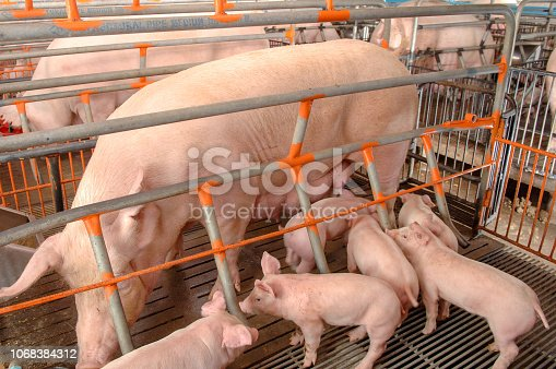 istock Curious pigs in Pig Breeding farm in swine business in tidy and clean indoor housing farm with pig mother feeding piglet 1068384312