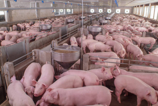 curious pigs in pig breeding farm in swine business in tidy and clean indoor housing farm with pig mother feeding piglet - maiale domestico foto e immagini stock