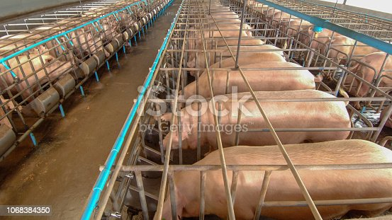 istock Curious pigs in Pig Breeding farm in swine business in tidy and clean indoor housing farm with pig mother feeding piglet 1068384350