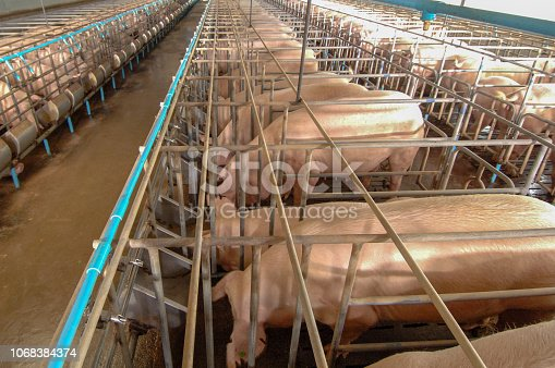 istock Curious pigs in Pig Breeding farm in swine business in tidy and clean indoor housing farm with pig mother feeding piglet 1068384374
