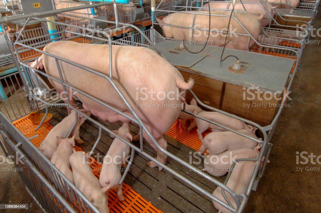 Neugierige Schweine Schweinezucht Farm in Schweine-Geschäft in ordentlich und sauber indoor Gehäuse Bauernhof mit Schwein Mutter füttert Ferkel – Foto