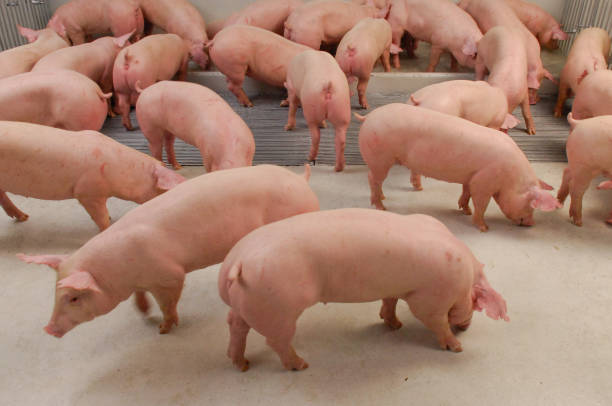 Curious pigs in Pig Breeding farm in swine business in tidy and clean indoor housing farm with pig mother feeding piglet stock photo
