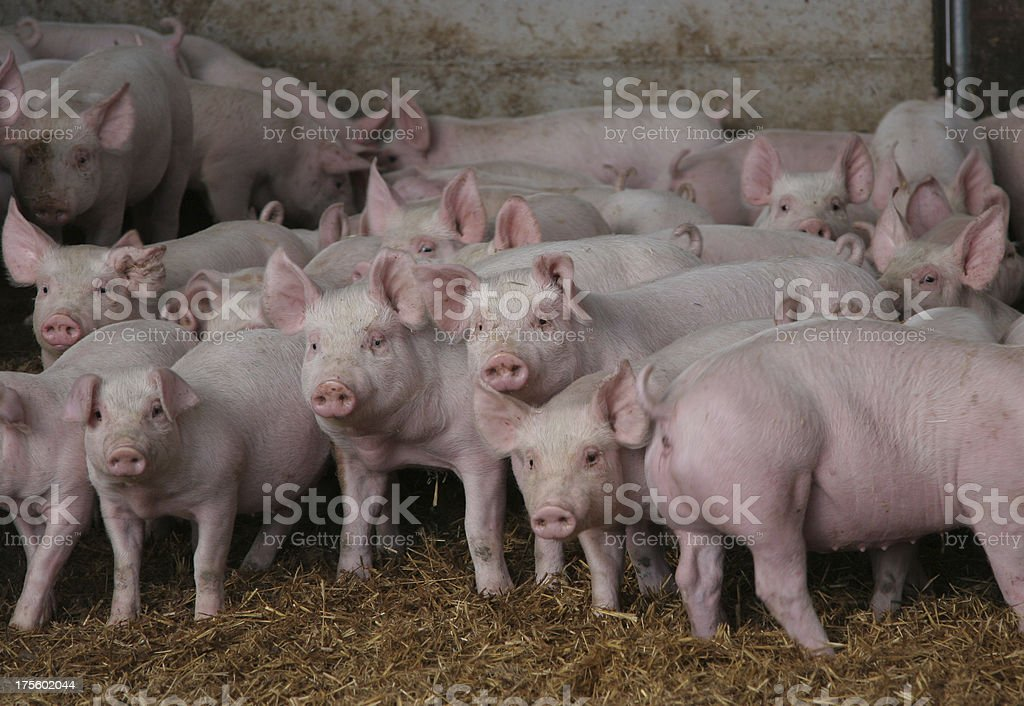 Curious Pigs stock photo