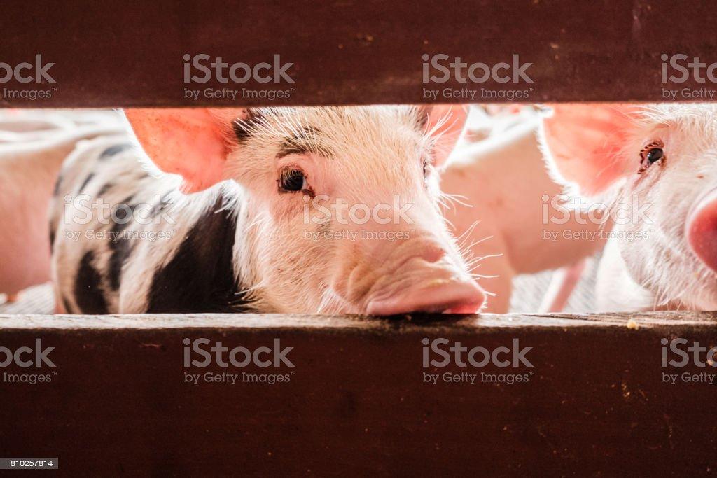 Neugierig Schweinen – Foto