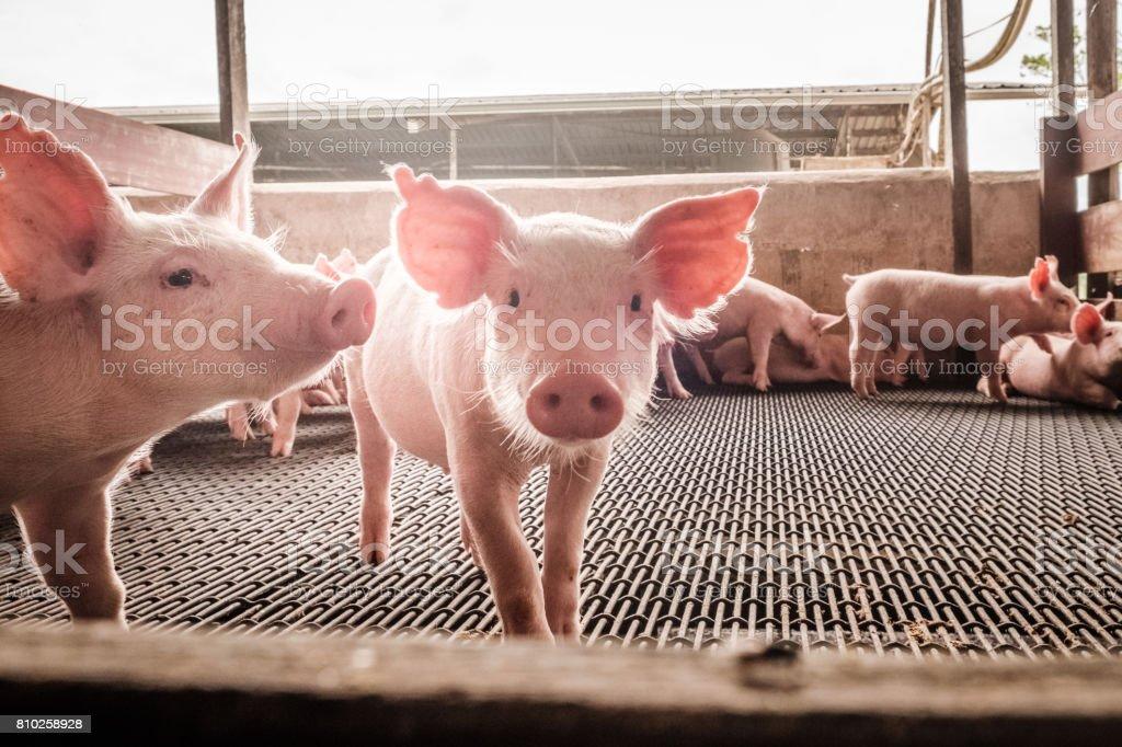 Curious pigs stock photo