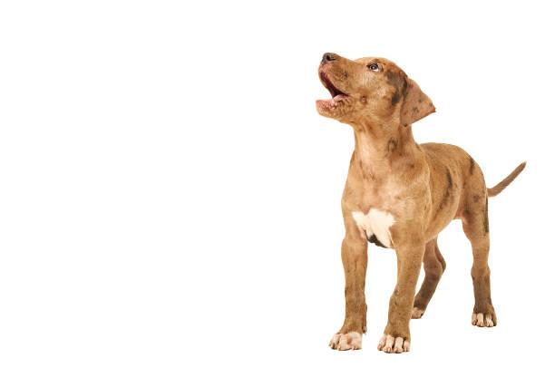 neugierig pitbull welpen - pitbull welpen stock-fotos und bilder