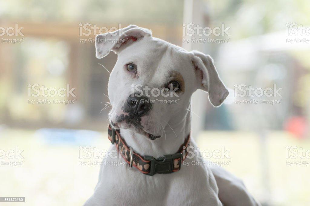 Curious Pitbull Dog stock photo