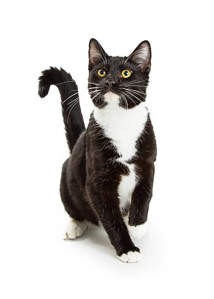 Curious playful cat sitting raising paw picture id626698540?b=1&k=6&m=626698540&s=612x612&w=0&h=twc9lgg6xwoaz ryvqynb7hvejfh0eppedeginbcfj4=