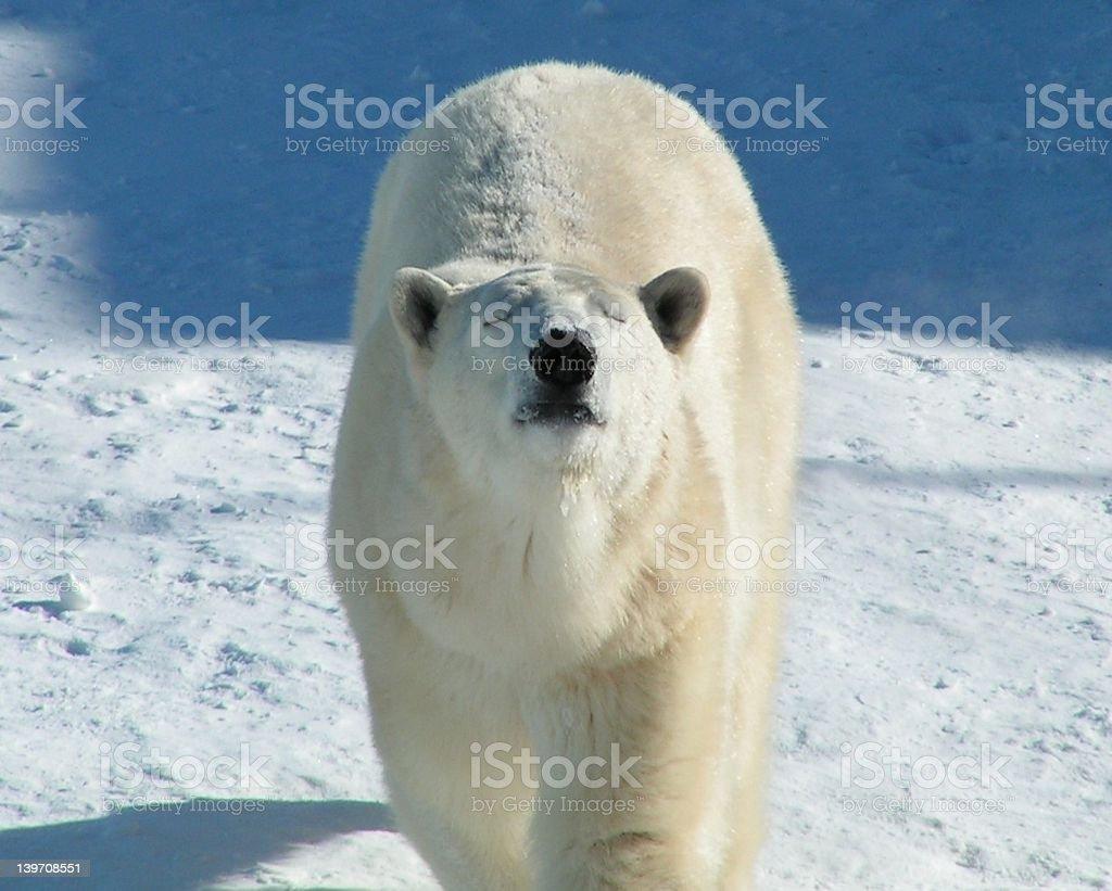 curious polar bear stock photo