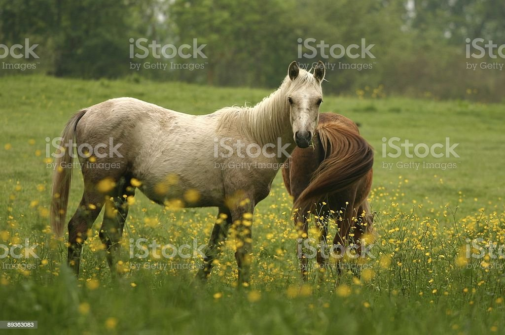 Curieux pony photo libre de droits