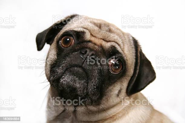Curious pug dog picture id182694854?b=1&k=6&m=182694854&s=612x612&h=5yetr3ytonqa7eanlpktd1headjt3ygslmtj0qukmwm=