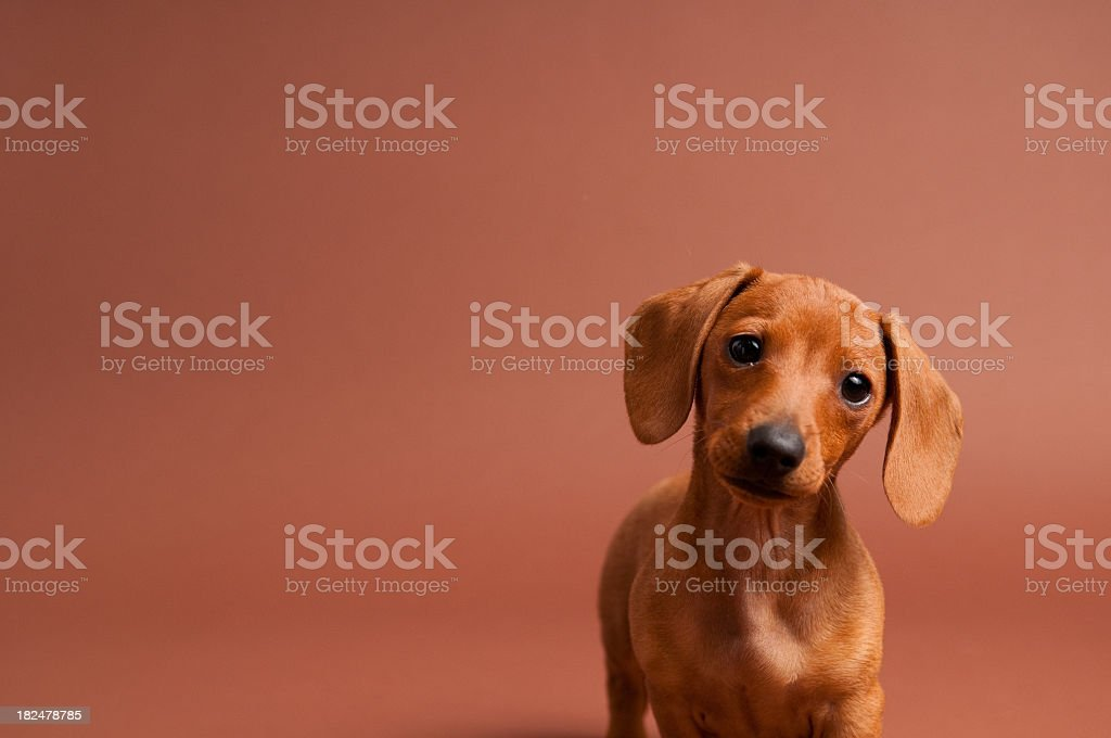 Curious Purebred Miniature Dachshund royalty-free stock photo