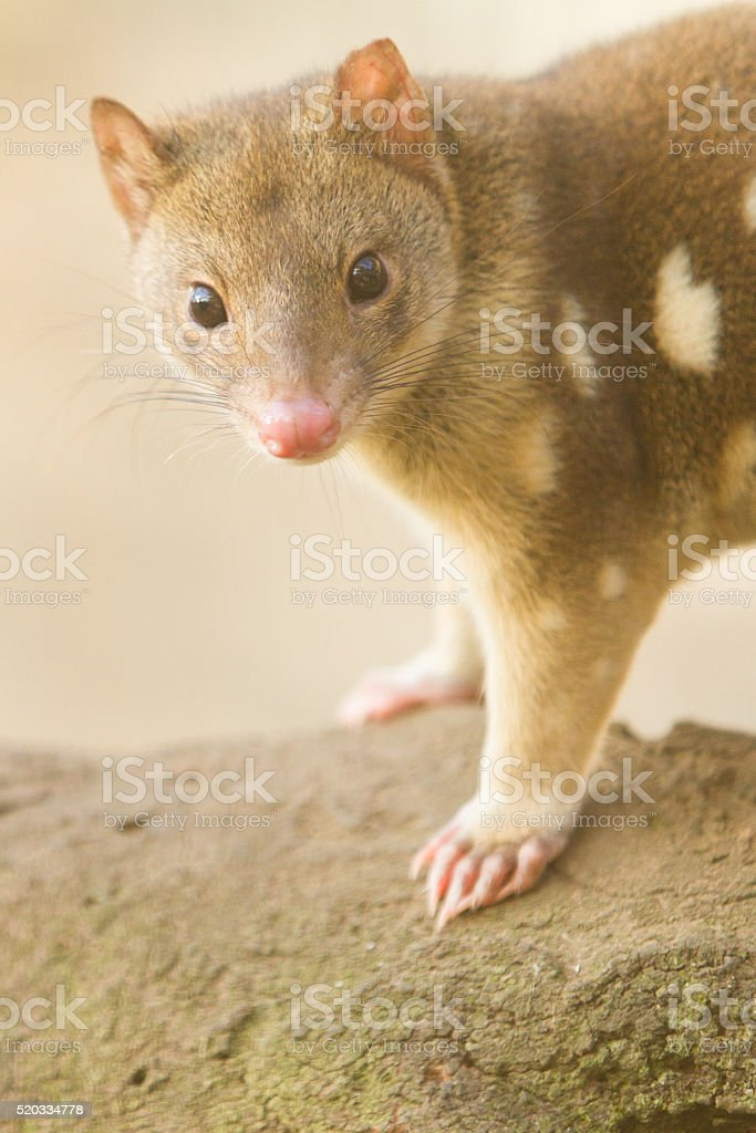 Curious Quoll stock photo
