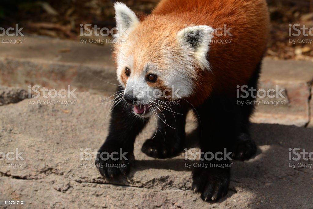Curious red panda closeup is a small bear cat native to China stock photo
