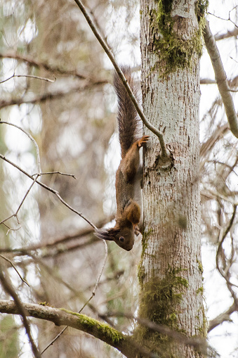 Curious red squirrel climbing on a tree trunk.