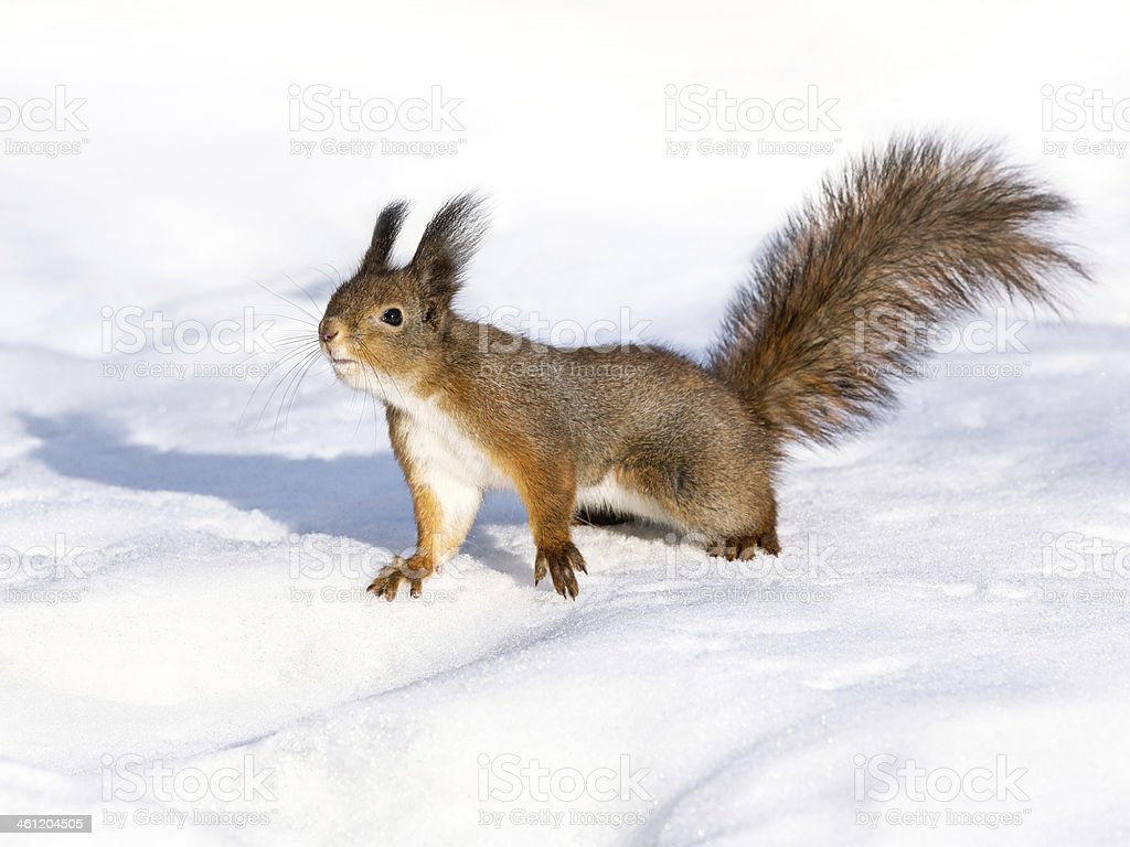 Curious red squirrel on snow stock photo