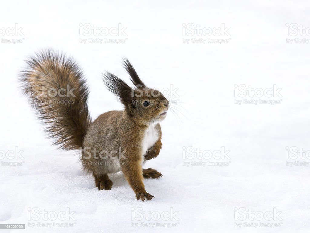 Curious red squirrel stock photo