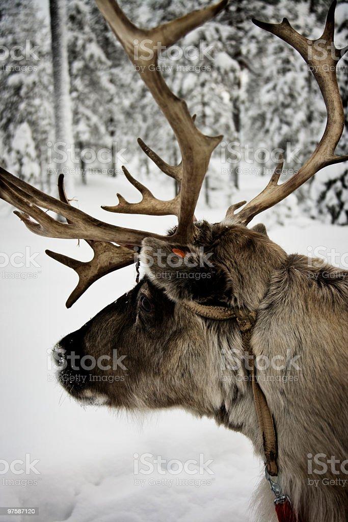 Curious Reindeer royaltyfri bildbanksbilder
