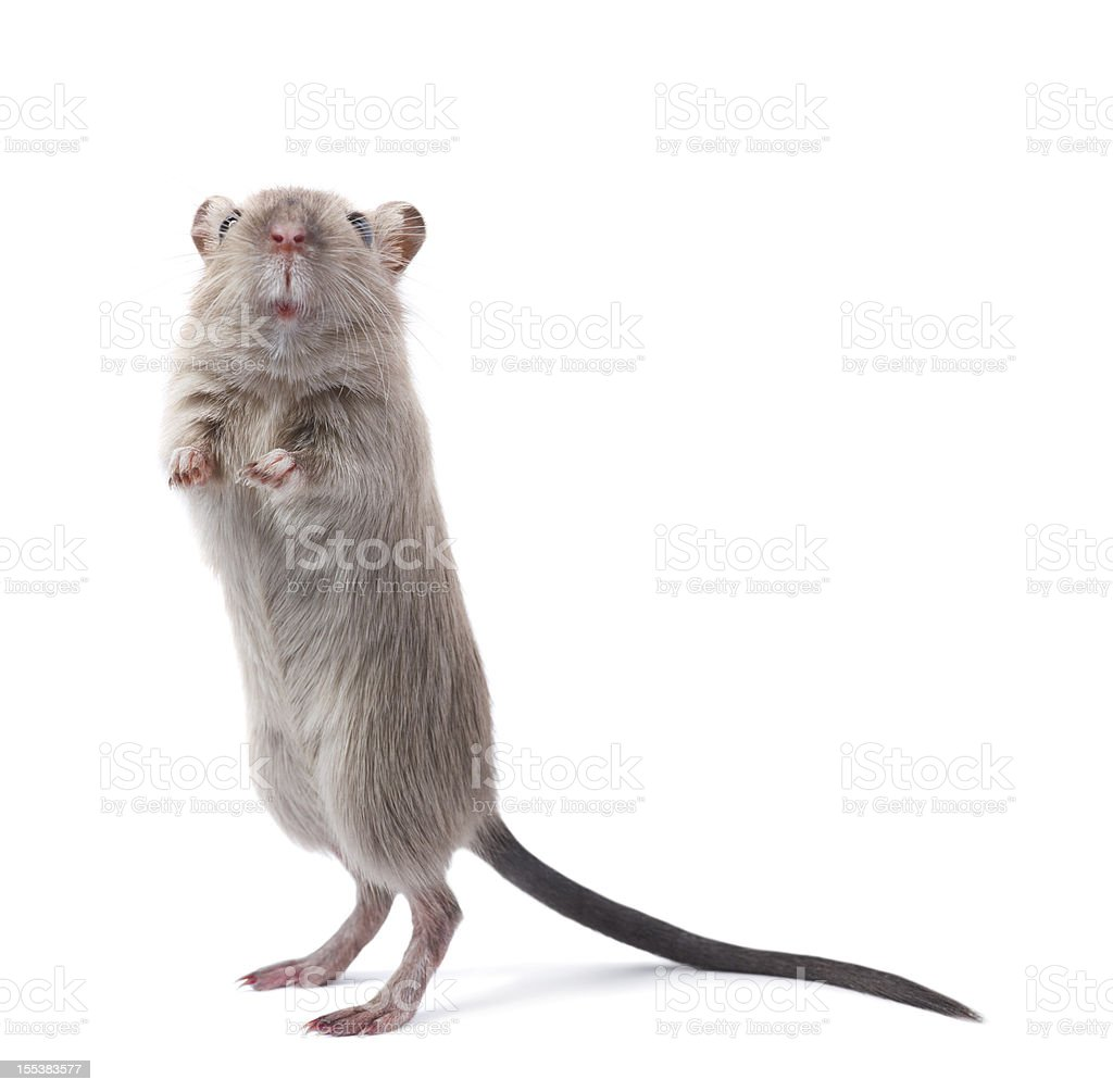 Curious rodent stock photo