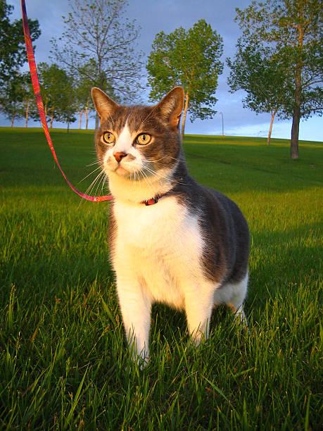 curious schnurri-cat - cat leash stock photos and pictures