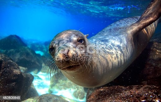 Curious sea lion underwater looking at camera