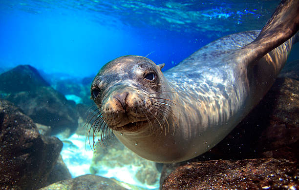 Curious sea lion underwater Curious sea lion underwater looking at camera mammal stock pictures, royalty-free photos & images