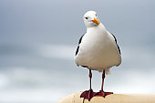 istock Curious Seagull 157195802
