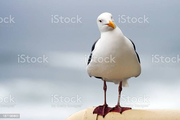 Photo of Curious Seagull