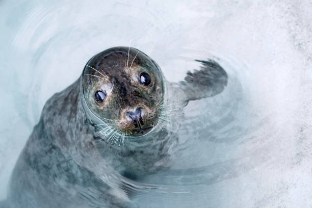 Curious seal floating in shallow water around iceberg stock photo