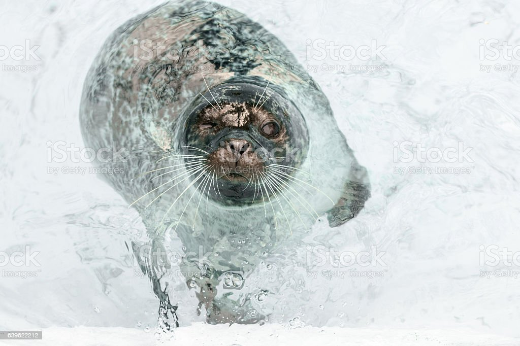 Curious seal floating in shallow water around iceberg - foto de stock