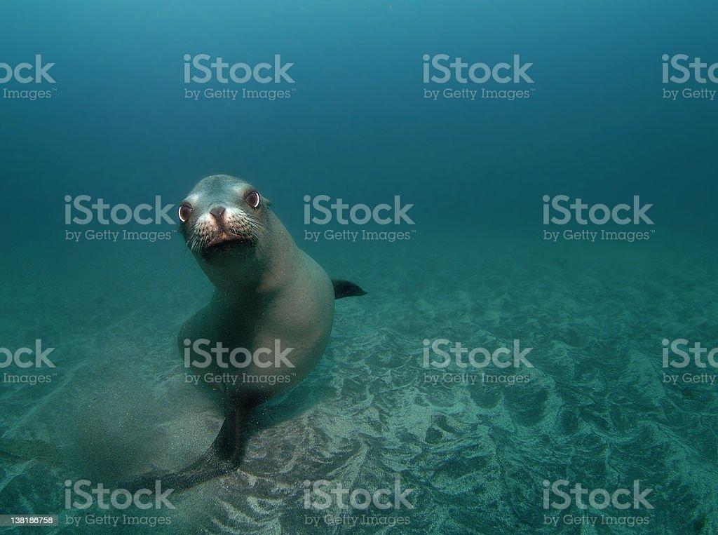 Curious Sealion stock photo