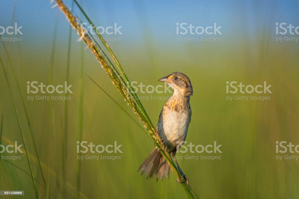 Curious Seaside Sparrow stock photo