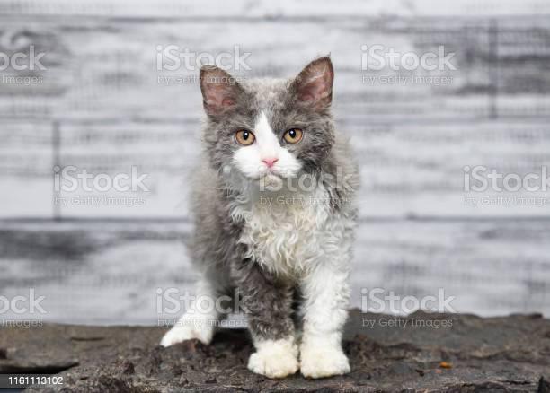 Curious selkirk rex cat picture id1161113102?b=1&k=6&m=1161113102&s=612x612&h=ael0b13wppqbigygfhcpte3myc5k8bqxsexj my5bu8=