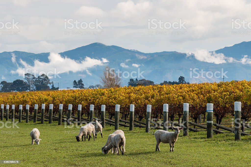 curious sheep grazing in autumn vineyard stock photo