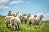 Curious sheep in Dunedin, Otago Harbour, South Island NZ