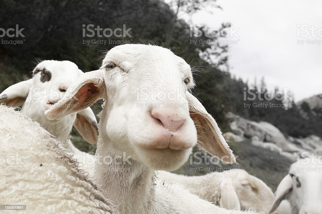Curious sheep stock photo