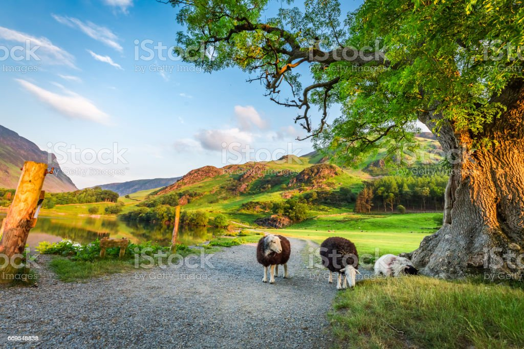 Curious sheeps on pasture in summer, Lake District, England stock photo