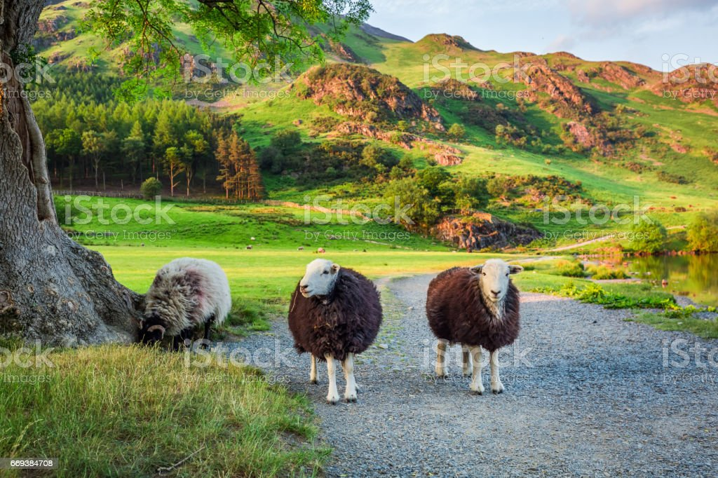 Curious sheeps on pasture in the Lake District, England stock photo