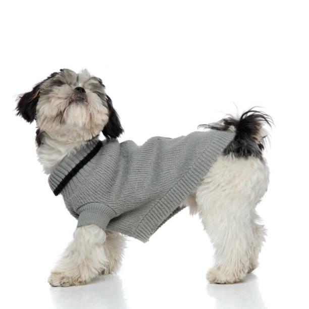 neugierig shih tzu tragen graue sweatshirt stehen und blickte - strickmantel stock-fotos und bilder