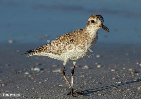Curious Shorebird at Fort DeSoto Park, Florida