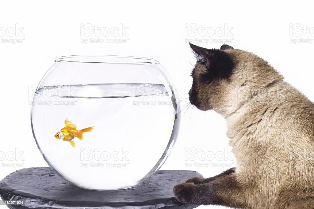 Curious Siamese Cat Watching Goldfish royalty-free stock photo