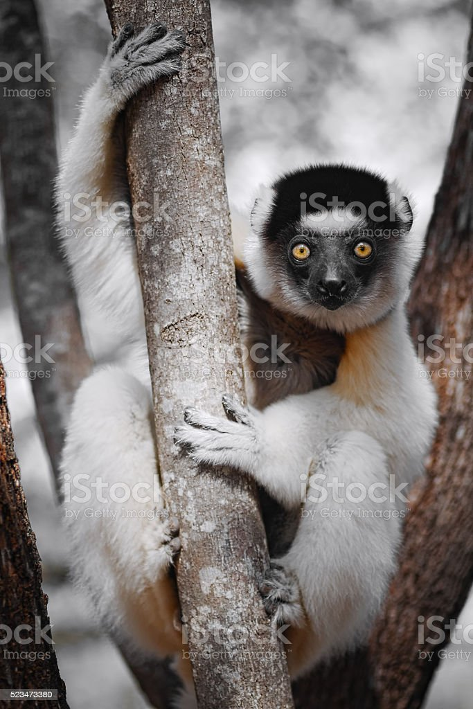 Curious sifaka, Propithecus verreauxi, staring stock photo