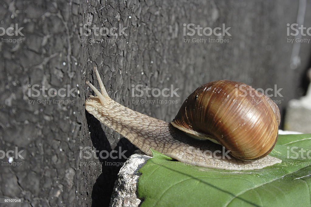 Curious Snail: checking out royalty-free stock photo