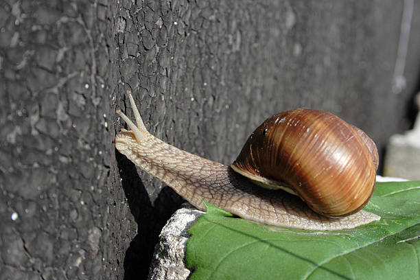Curious Snail: checking out stock photo