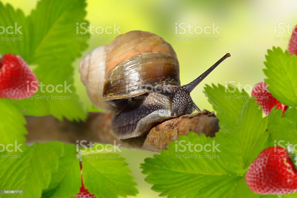 Curious snail in the garden. (Helix lutescens) close-up, stock photo